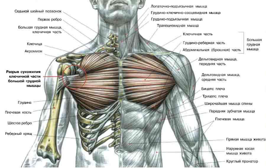 Сверху большие грудные мышцы