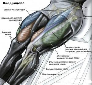 Квадрицепсы анатомия