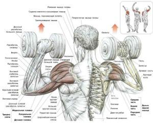 Жим гантелей анатомия