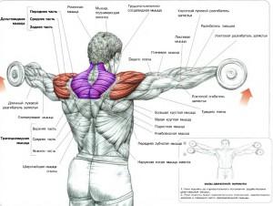 Разведение гантелей в стороны стоя анатомия
