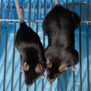 Мыши с нормальным и отключенным миостатином