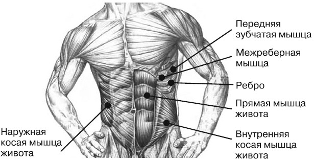 Пресс анатомический рисунок