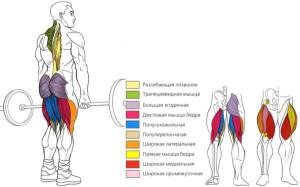 Становая тяга - анатомия