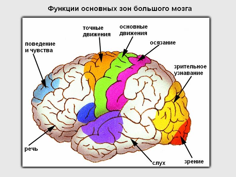 Педагогические укажите место локализации коркового центра общей чувствительности выбор