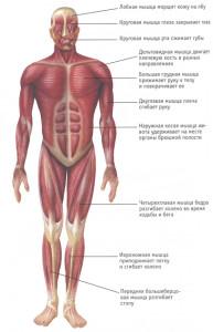 анатомия мышц человека