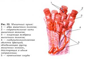мышечное строение