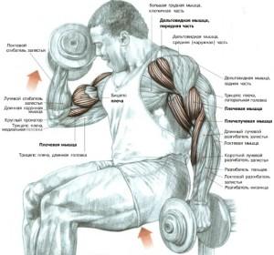 подъем гантелей на бицепс - анатомический рисунок