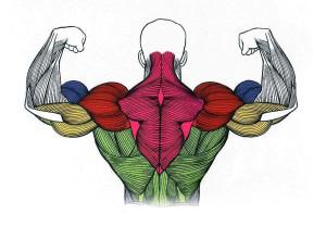 физиология мышц