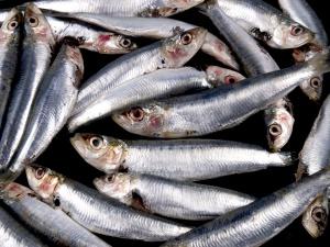 Sardine fresce