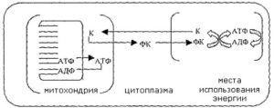фосфокреативный путь транспортировки энергии в кардиомиоцитах