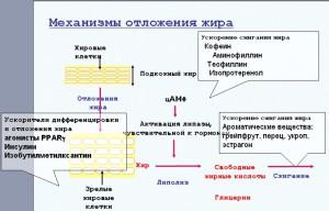 Механизмы отложения жира