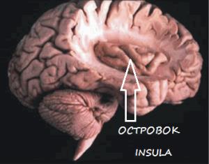 Островковая доля мозга insula