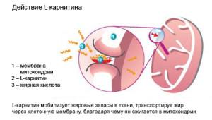 действие L-карнитина