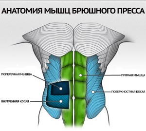 Анатомия мышц брюшного пресса