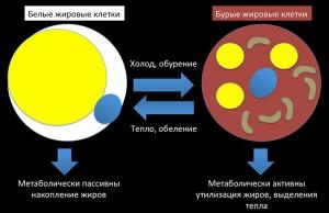 белые и бурые жировые клетки