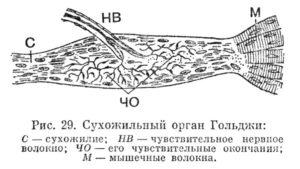 Сухожильный орган Гольджи