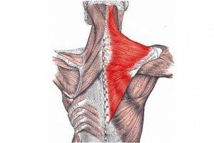 Трапециевидные мышцы