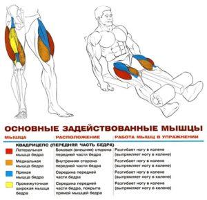 Разгибания ног в тренажёре - анатомия