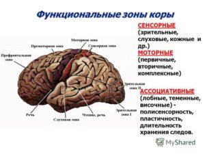 зоны мозга