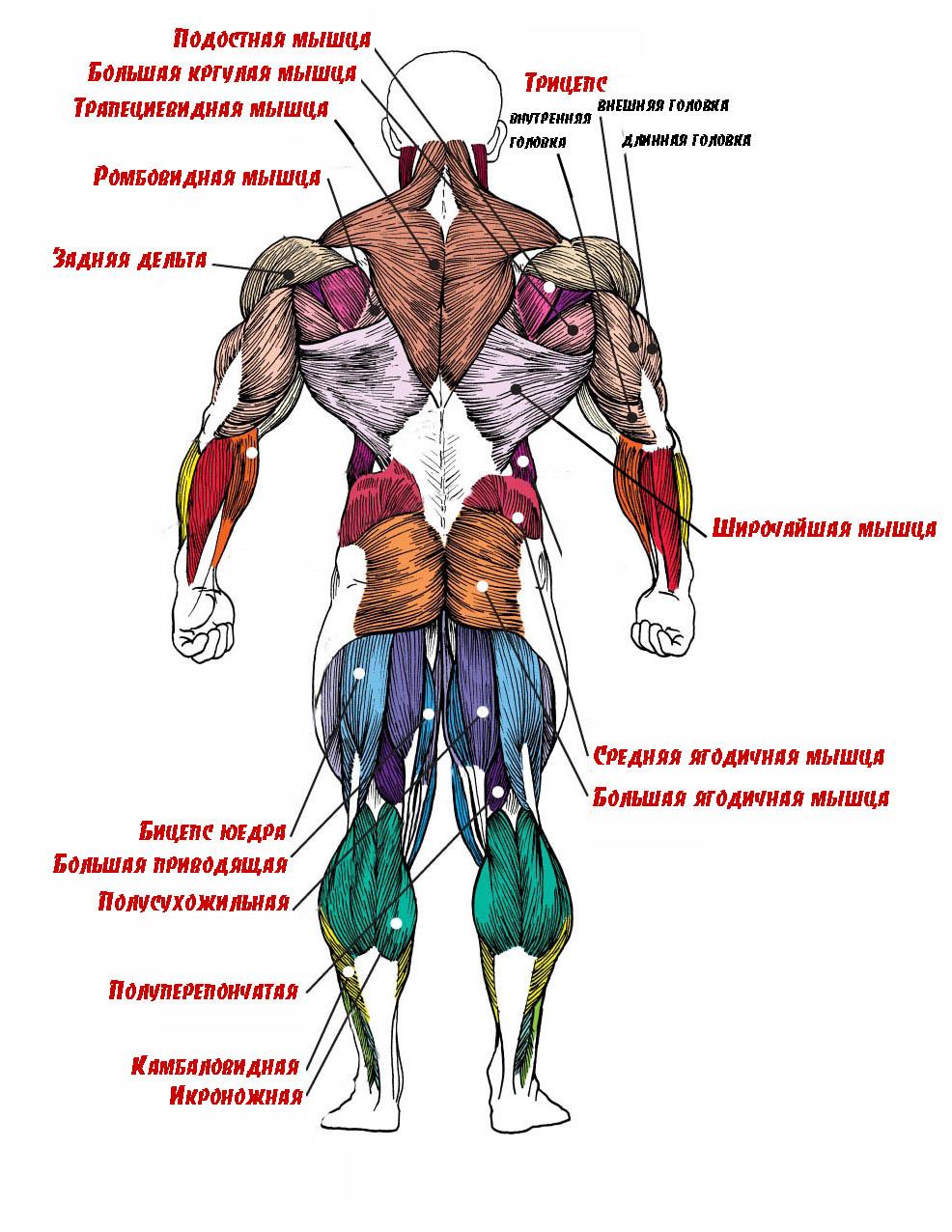 мышцы человека фото с описанием мышц бодибилдинг сделают любой день
